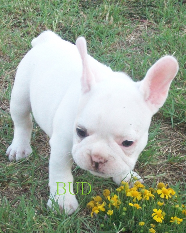 Harley's Frenchies http://www.barbarasfrenchies.com/past-puppies.html